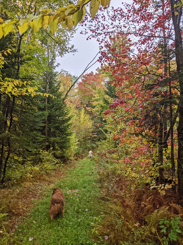 forest path with maples and other tree leaves in fall colors